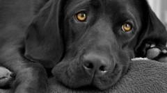 Valóban félnünk kell a fekete kutyáktól?