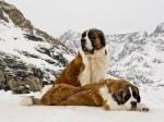 A Szent Bernáthegyi kutya a hegyekben kalandozók hű társa és megmentője lehet.